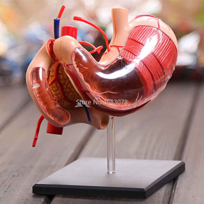 4d Human Stomach Anatomy Model Teaching Aid Puzzle Assembling Toy School Laboratory Medical Teaching Education Equipment