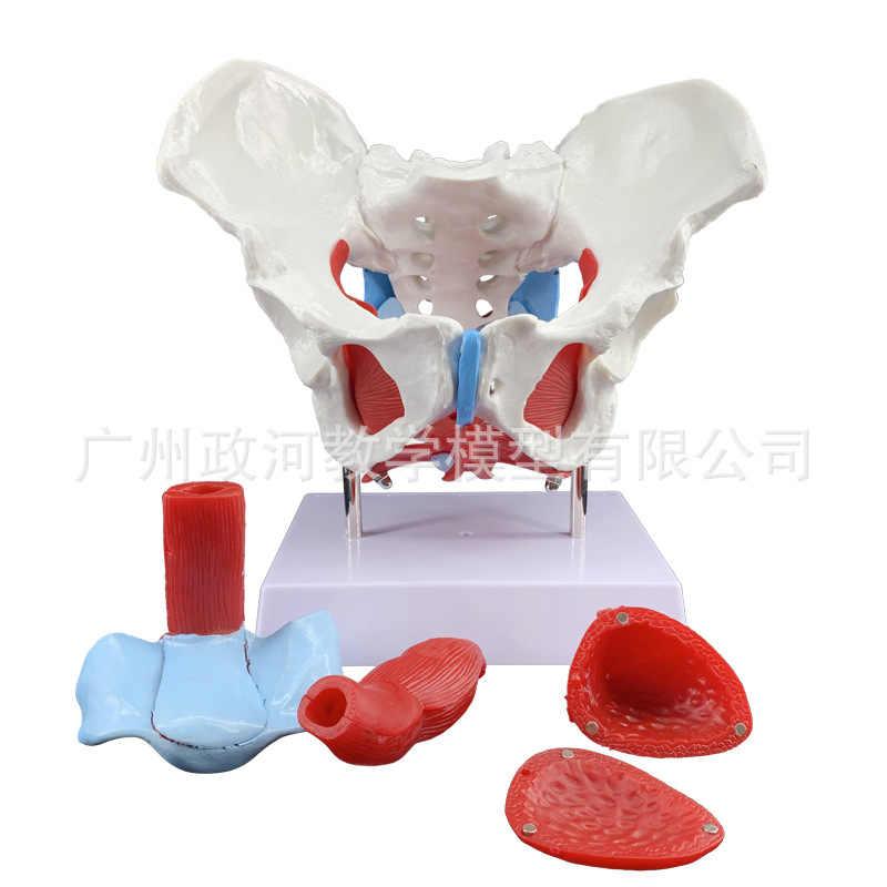 1:1 modelo de hueso de Anatomía Humana del modelo de músculo del suelo pélvico del sistema reproductor femenino de tamaño real