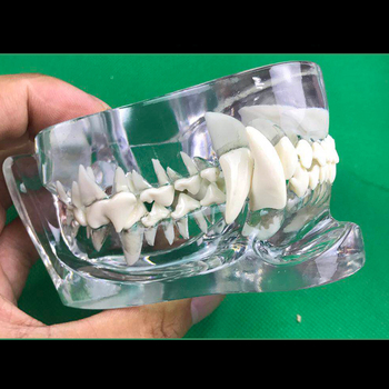 1 pcs Animal tooth model Dog Cat tooth arrangement practice model teaching simulation model Toy Gift