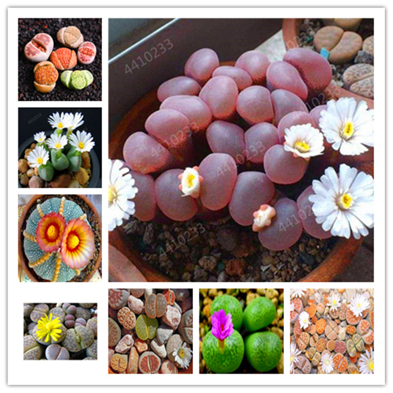 100 Pcs Rare Mix Lithops Bonsai Living Stones Succulent Cactus Organic Garden Bulk Bonsai Planta For Indoor Succulent Plants