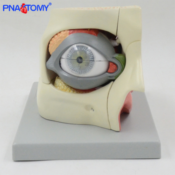 PNATOMY 2.5 times enlarged human eye model orbit anatomical model medical teaching tool lens muscles anatomy transparent human heart anatomical model life size detachable with base plastic made medical teaching tool pnatomy