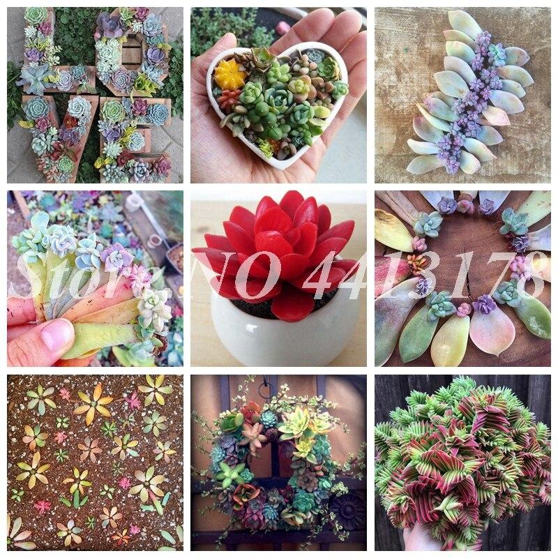 100 Pcs Exotic Rainbow Succulent Bonsai Pseudotruncatella Living Stone Plant Rare Succulent Potted Flower Planta For Home Garden