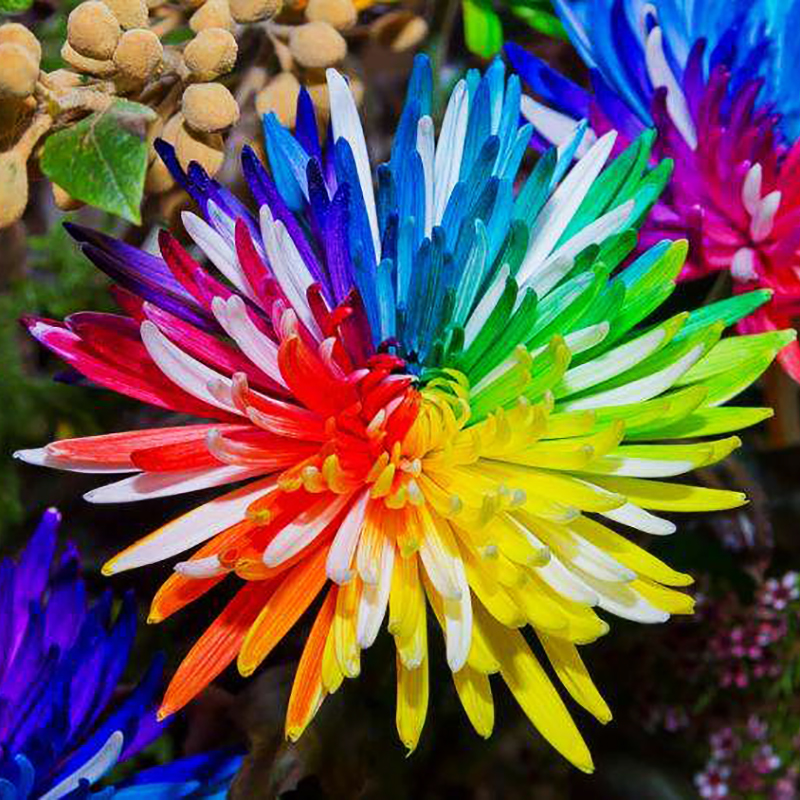 120PCS Hot Sale Rare Rainbow Chrysanthemum  Of Perennial Garden Flowers To Give Home For Rainbow Natural Flowers