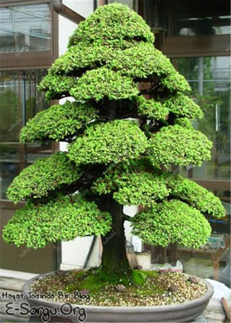 50 Pcs Mini Black Pine Bonsai, Indoor Plants Radiation Protection Bonsai, Japanese Bonsai Pine Tree For Home Garden Potted Plant