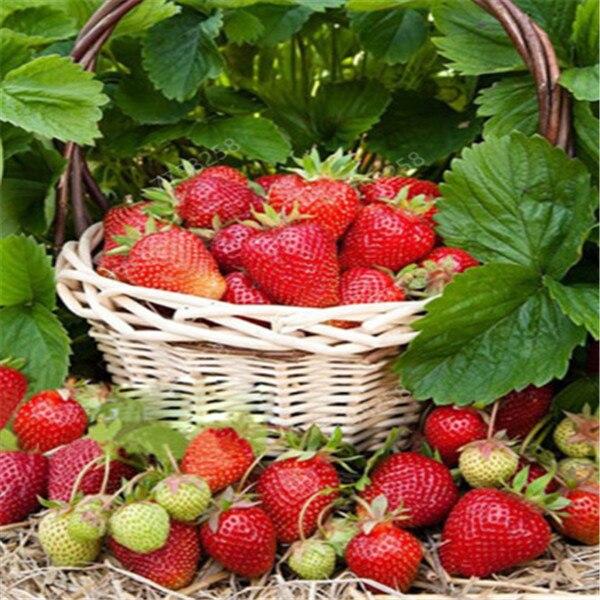 100 Pcs Farmer Direct Selling Indoor Plants Strawberry Penzai Rare Color Strawberry Penzai Fruit Penzai For Garden Penzai