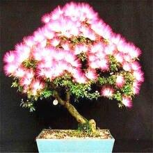 20 шт Albizia(акация) Julibrissin дерево(Мимоза/персидское шелковое дерево) мини цветок бонсай в горшках, diy домашний миниатюрный садовый завод