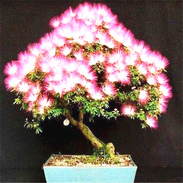 20 Pcs Albizia (Acacia) Julibrissin Tree (mimosa/persian Silk Tree) Mini Potted Bonsai Flower ,diy Home Miniature Garden Plant