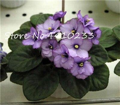100-stks-Mini-Bonsai-Violet-Zeldzame-Afrikaanse-Bloem-Voor-Tuin-Voor-Bekijken-Avond-Geurende-Voorraad-Violet.jpg_640x640 (3)