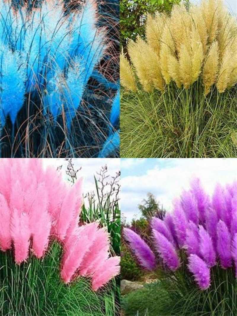 100 Seeds Pampas Grass Seed Pampas Grass Silver Reed Seeds Hardy Grass Species United States Ornamental Grass Seeds
