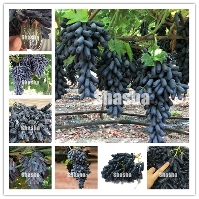10 Pcs Black Finger Grape America Giant Grape Bonsai Edible Succulent Fruit Tree Perennial Indoor Home Garden Potted Plants