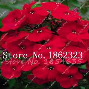Buy Phlox Flower Semente 100 Pcs Bonsai Plant Phlox Flower Phlox Drummondii Light Up Your Personal Home Garden