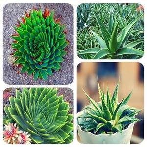 100 Pcs Aloe Bonsai Plants Bonsais Edible Beauty Cosmetic Houseplants Succulents Plants Bonsai For Home Garden Fast Growing