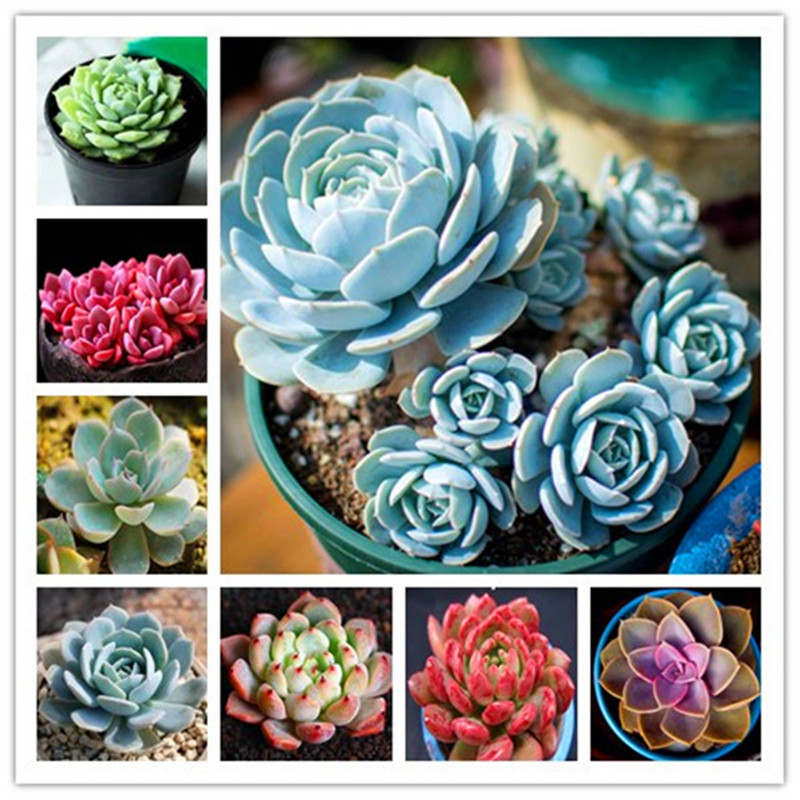 300pcs/lot Stone Lotus (Echeveria) (mixed) Succulent Plants Bonsai Succulents Plant DIY Home Garden