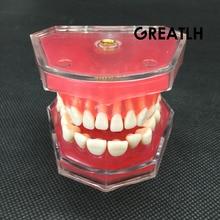 Teaching-Model Teeth Dental-Study Gum Soft Removable ADULT
