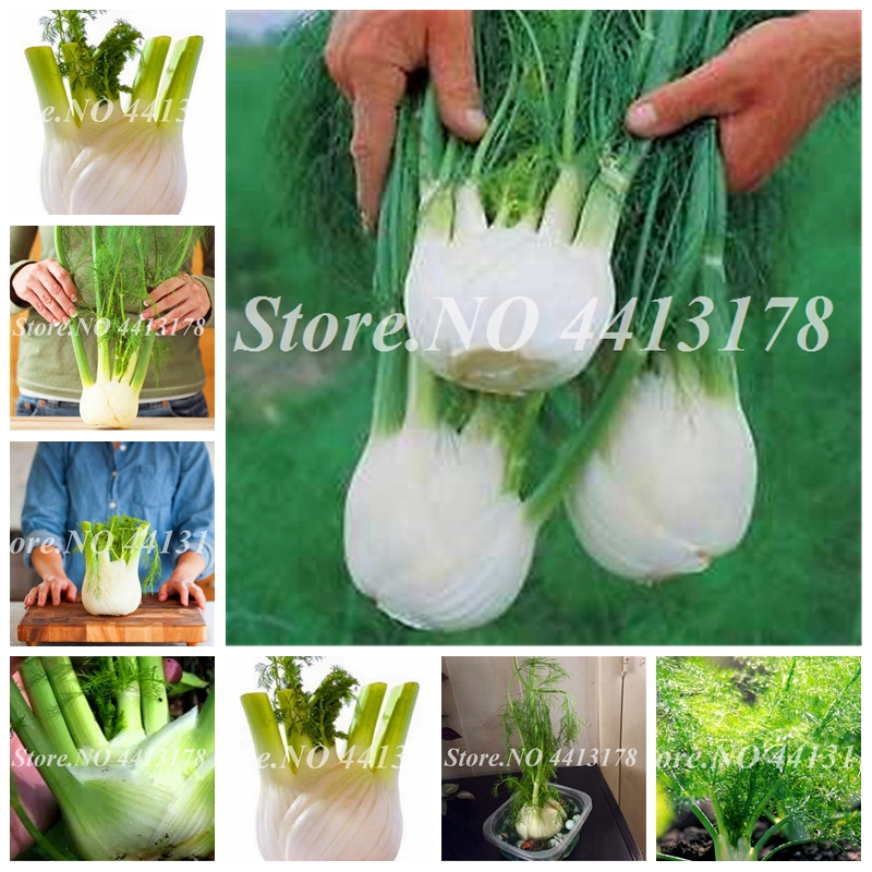 Europe Fragrant Fennel Bonsai Fresh & Green Organic Vegetable Foeniculum Anise-Flavored Crispy Bonsai Garden Plant 100 Pcs/ Bag