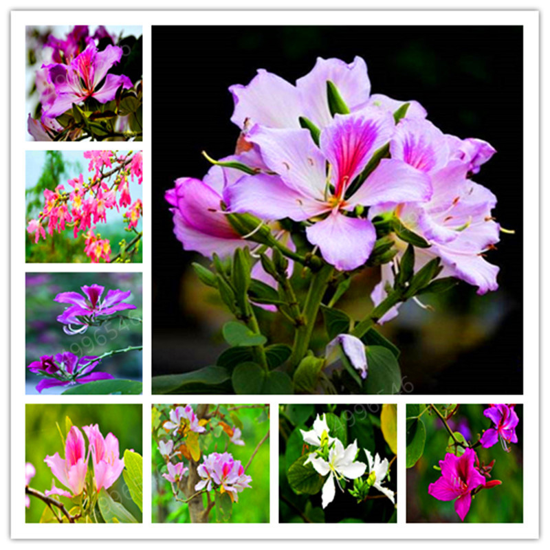 30pcs Hot-selling Bauhinia Tree Graines Perennial Blooming Plants Full Of Tree Blue Flowers For Garden Plant Sementes De Flores