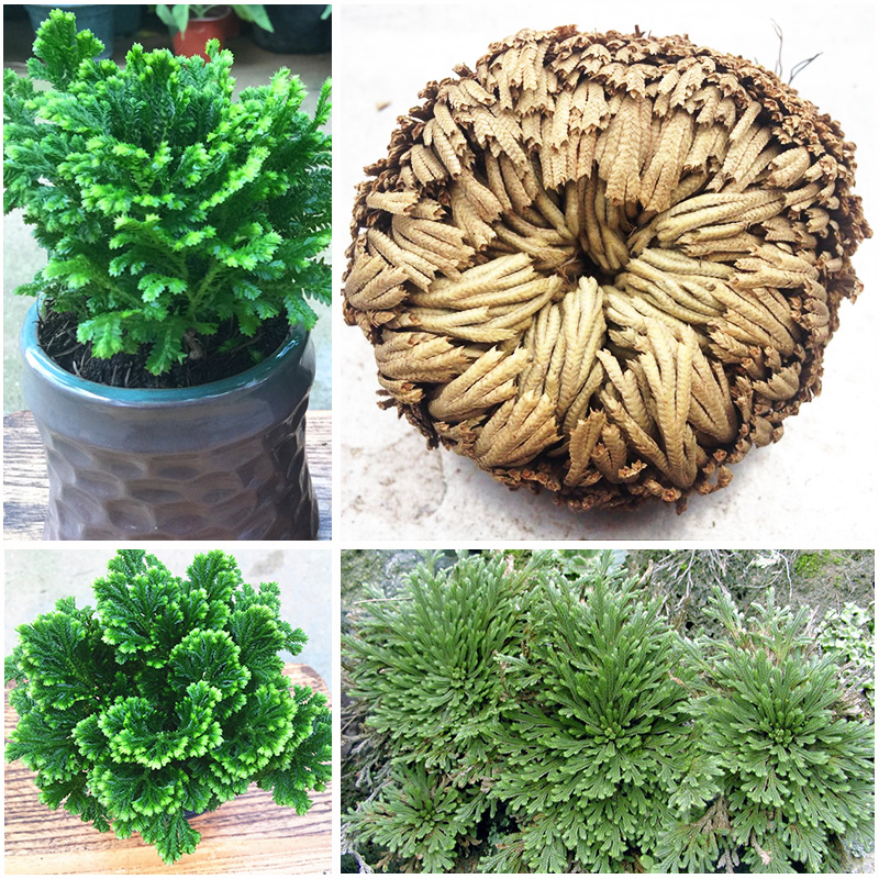 1 Blub New Hot Selaginella Tamariscina Practical Live Resurrection  Rose Of Jericho Dinosaur  Air Fern Spike Moss