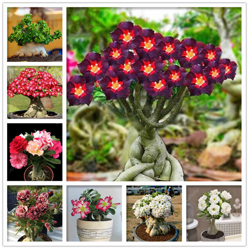 100% Vero Desert Rose Bonsai Piante Ornamentali Balcone Bonsai Vaso di Fiori Drawf Adenium Obesum Bonsai-1 Particelle/lot