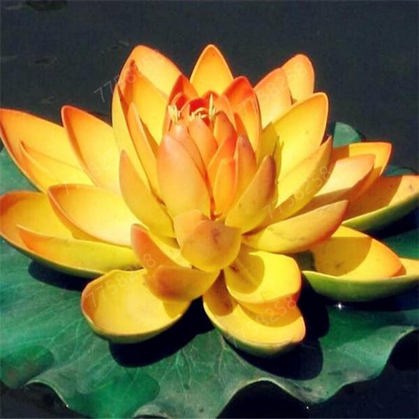 100Pcs Bowl Lotus Water Lily Flower Bathing Salt for Home Garden Flower Fragrance Bath Salts 1