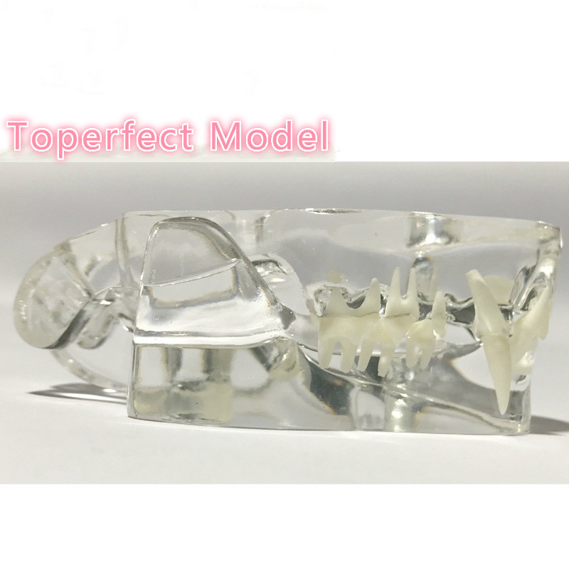 Image 3 - Anatomical Felidae Pathology Jaw Model Medical Cat Mouth and Teeth Anatomy Clear Feline esqueleto anatomia-in Educational Equipment from Office & School Supplies