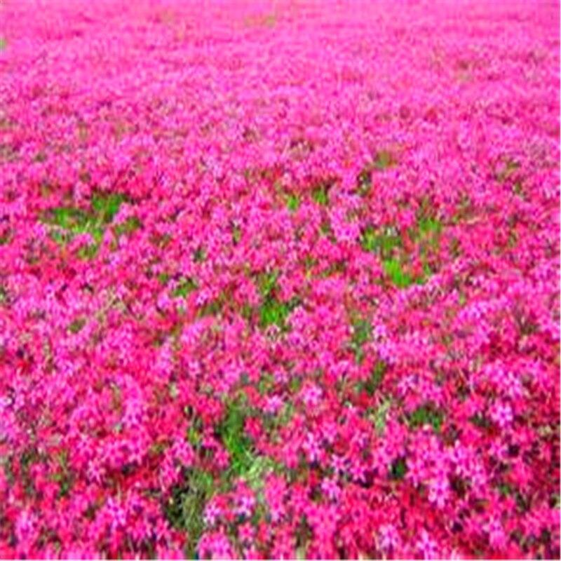 Plant Flower Bath Salts Ground Cherry Essence 100Pcs XZZ-279