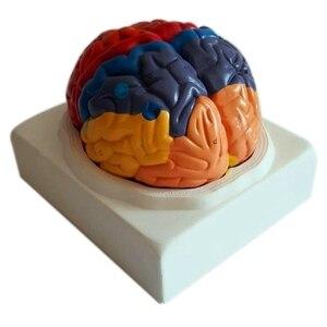 210Mmx180Mmx180Mm Pvc Brain Model,Brain Function Area Model,Brain Human Anatomical Mode for Medical School Teaching Tools(China)