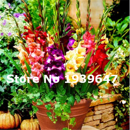 200 Pcs Home Garden Bonsai Flower Gladiolus, Bonsai Plant Flower, (Not Gladiolus Bulbs), Perennial Flower Seeds Potted Plants