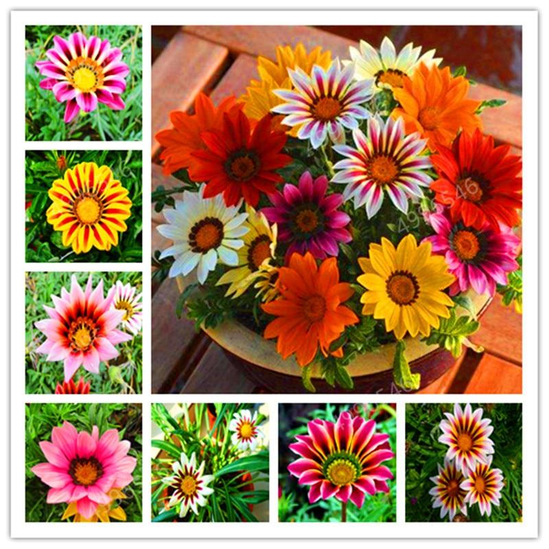 100PCS Chrysanthemum Bonsai Gazania Rigens Plants Rare Flowers Bonsai Home Balcony Garden Bonsai Free Shipping