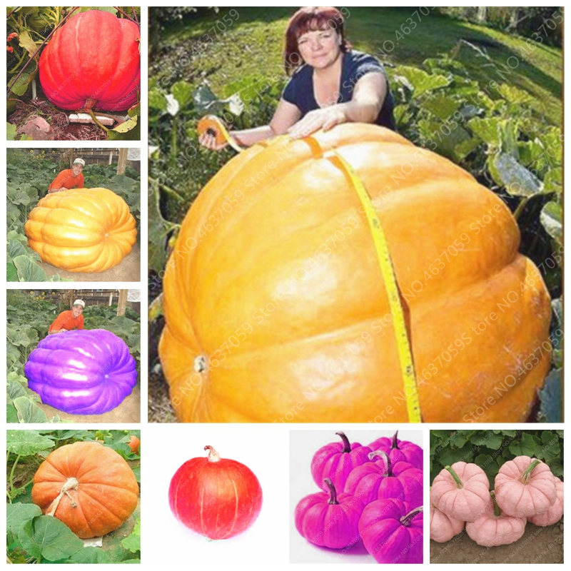 10 Pcs Giant Pumpkin Bonsai Organic Delicious Vegetable Fruit Potted Happy Farm For Garden Plant Exotic Interested