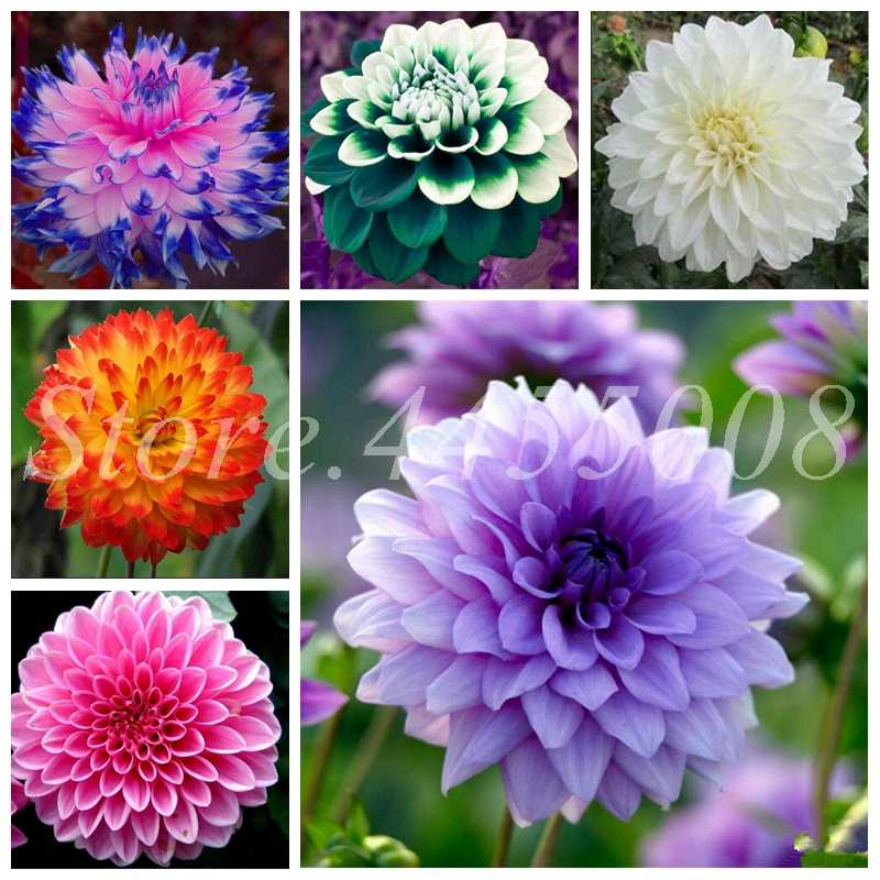 500Pcs Bonsai Dahlia Chinese Rare Flower Beautiful Perennial Indoor Or Outdoor Flowers Plant For Home Garden Plants Easy To Grow