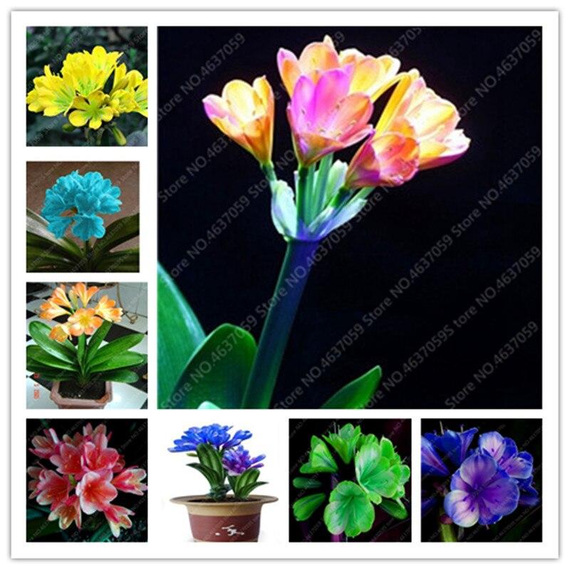 100 Pcs/ Bag Bonsai Clivia Flower Beautiful Bush Lily Potted Plants Perennial Indoor Flowering Clivia Miniata Garden Planting