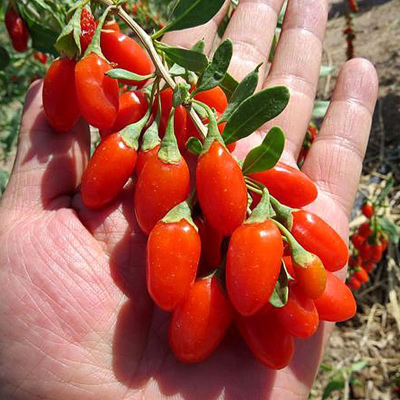 High Quality Lycium Barbarum Seeds Goji Berry Seeds Goji