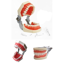 1pcs Teeth Model All 28 pcs Teeth Removable Soft Gum Dental Model for New Dental Practice Dentist Traning In The School dental removable dental model dental tooth arrangement practice model with screw teaching simulation model oral materials