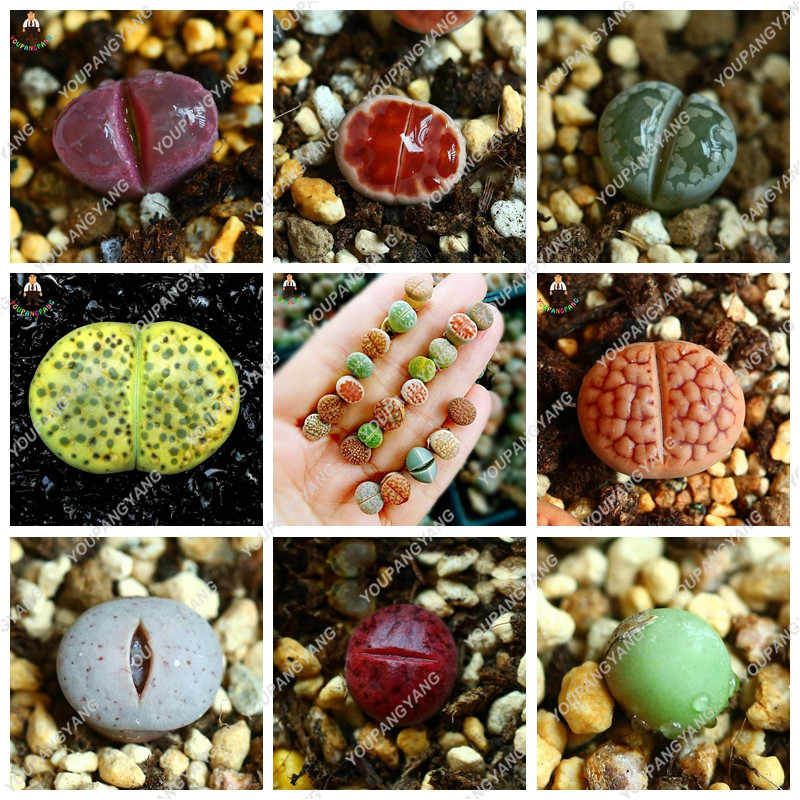 120 ชิ้น/ถุงหายาก succulent planter bonsai ผสม Lithops bonsai Pseudotruncatella Living Stone bonsai Garden succulents พืชหม้อ