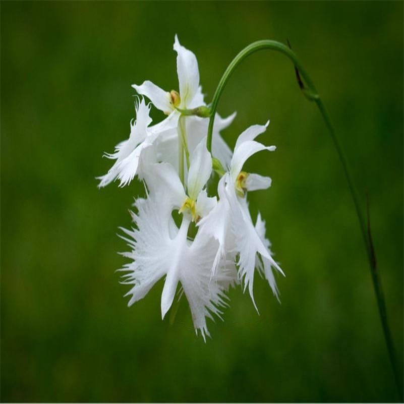 100pcs/ Imported Phalaenopsis
