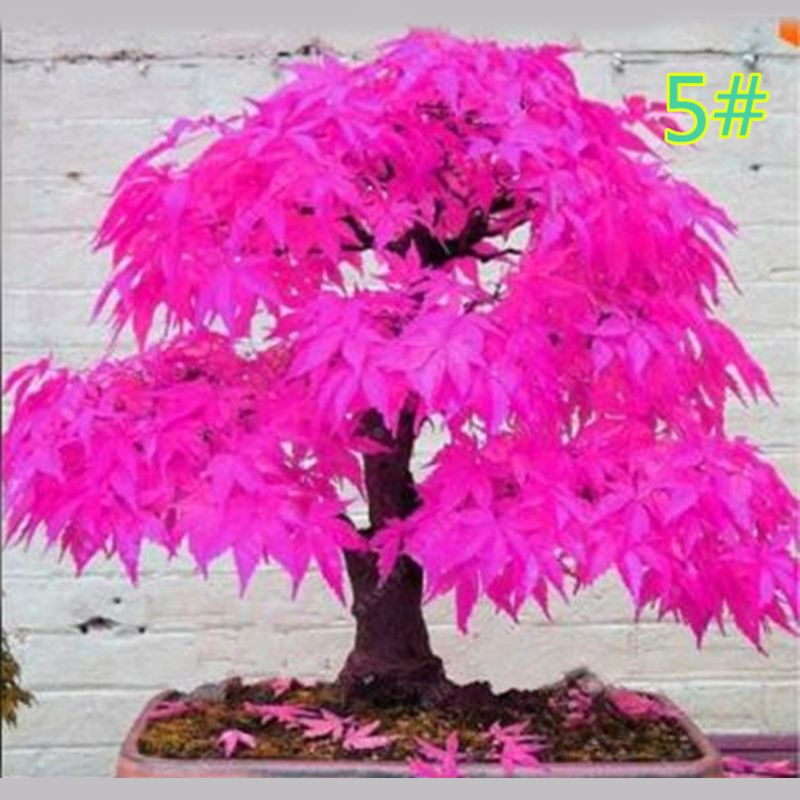 20Pcs Japanese Maple Seed Bonsai DIY Plant Flower Pot Colorful Leaves Creative Household Home Mini Gardening Decor D08D