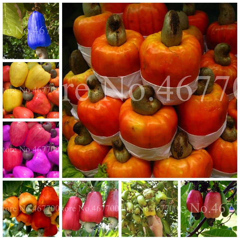 New Garden Plants 10 Pcs Mini Cashew Tree Bonsai Anacardium Occidentale Rare Outdoor Plant Tree Potted Fruit Germ Free Shipping