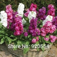 Настоящие 200 шт mattiola incana, Gillyflower смешанные цвета DIY Сад