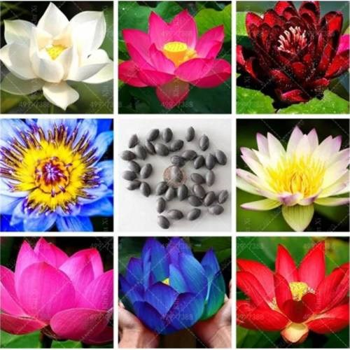 10 Pcs Mixed Lotus Flower Free Shipping