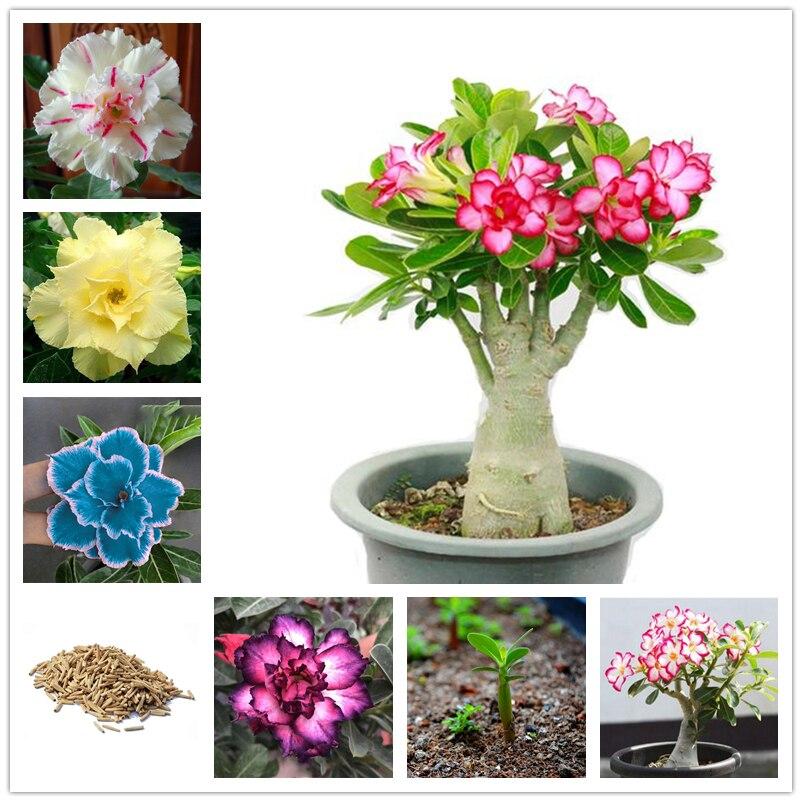 3Pcs Rare Adenium Obesum Seeds Home Nature Garden Bonsai Plants Vegetable Fruits Desert Rose Flower Fragrant Incense
