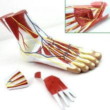 1:1 tamanho do pé esqueleto modelo com ligamentos e músculos anatômica pé humano modelo anatomia crânio modelo misturador esqueleto anatômica