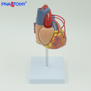 INTRODUCTORY CORONARY BYPASS Anatomical model heart anatomy life size colored medical gift teaching tool PNATOMY blood cell transparent human heart anatomical model life size detachable with base plastic made medical teaching tool pnatomy
