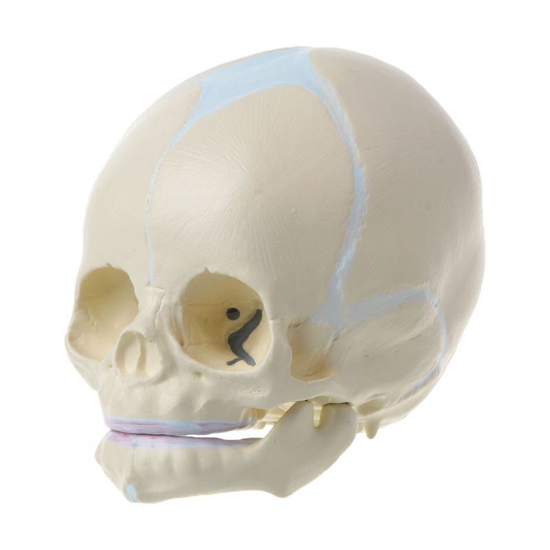 1: 1 Human Fetal Baby Infant Medical Skull Anatomical Skeleton Model Teaching Supplies for Science