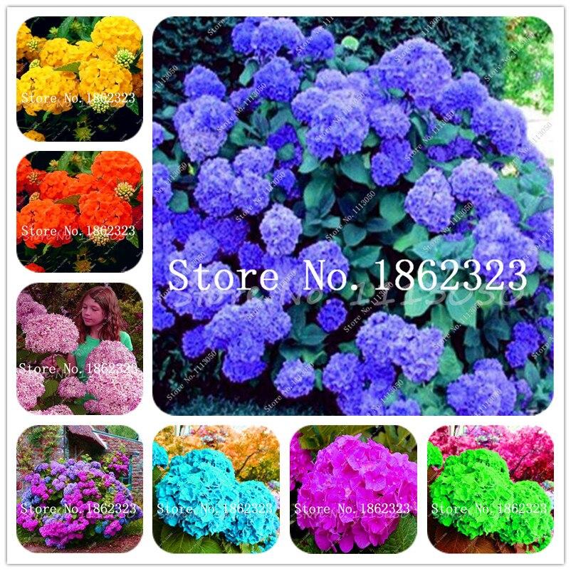 Bonsai 100 Pcs Multiple Color Hydrangea Bonsai Perennial Flower Plant Hydrangea Balcony Ornamental Plants For Home Garden Decor