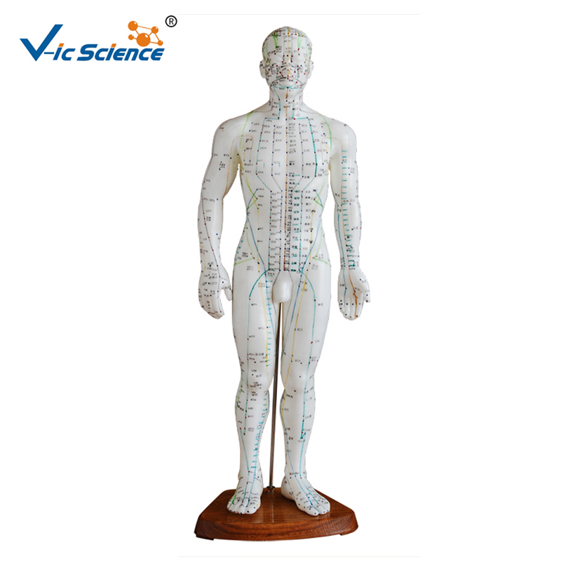 Education Model English Code 50CM Male Acupuncture Model