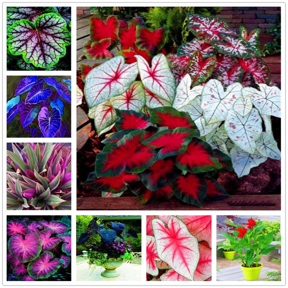 Plant Flower Bath Salts Lovely Hosta Essence 200Pcs XZZ-291