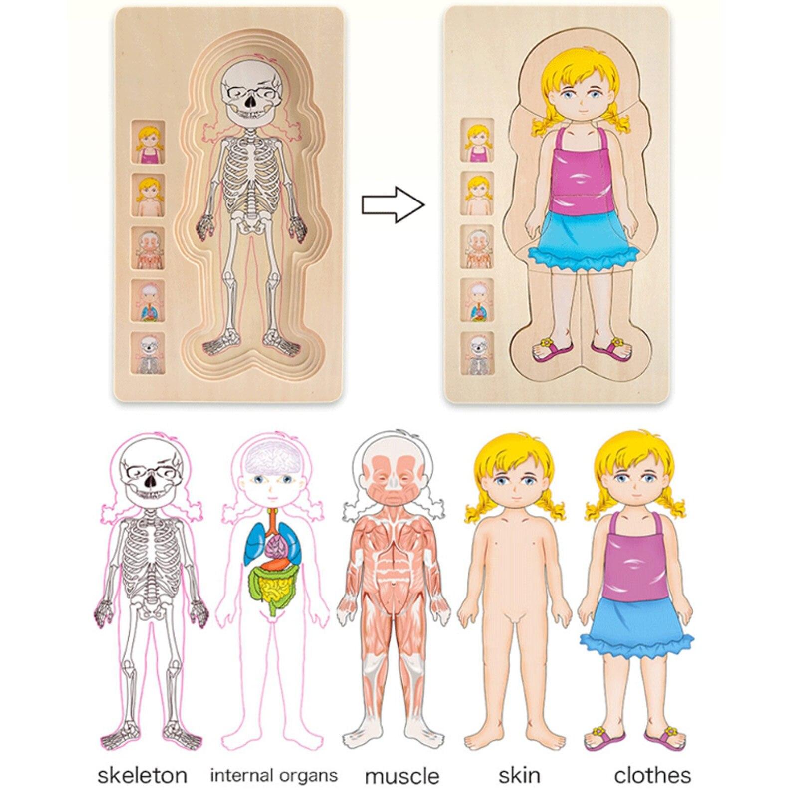 do corpo musculos genero corpo da 02