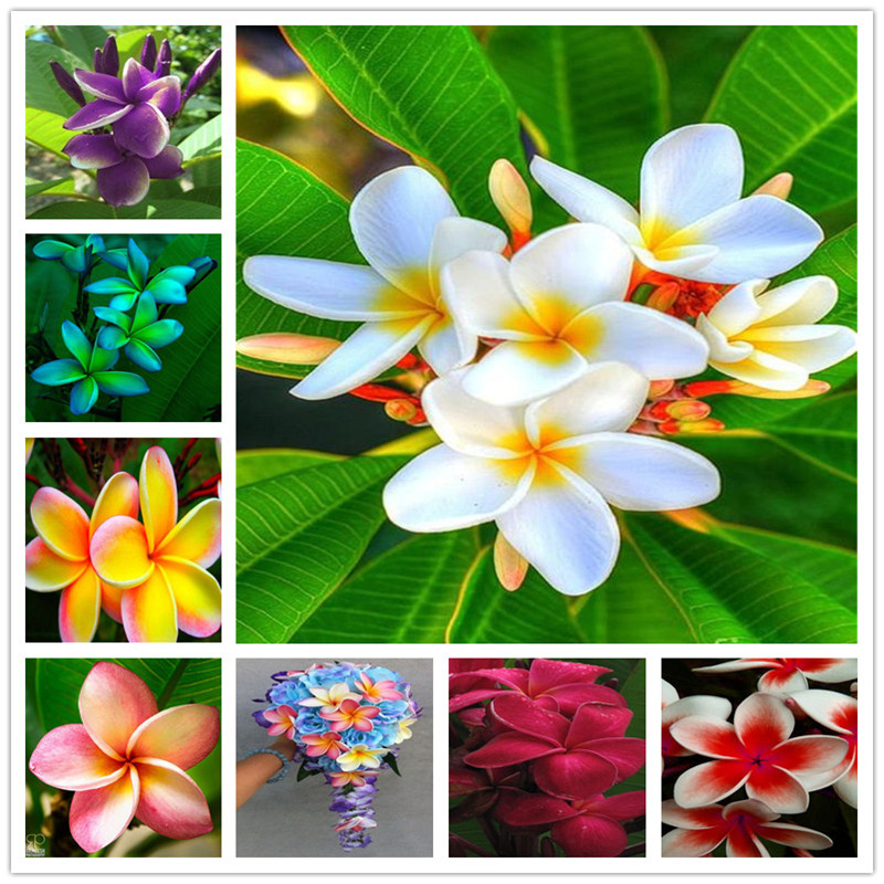 Bonsai 200 Pcs / Bag Plumeria Potted Frangipani Hawaiian Lei Flower Rare Exotic EggFlower Perfect Color Diy Home Garden Planting