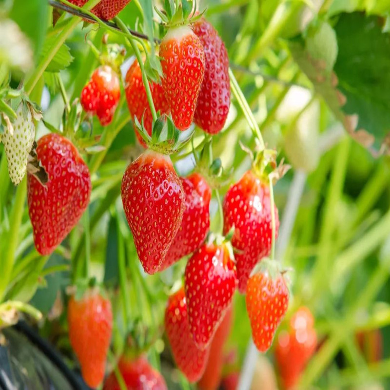 100pcs-1000pcs Hot Fruit Seeds Strawberry Seeds Strawberry Seed Good Quality, Survival Rate Up To 99% Free Shipping