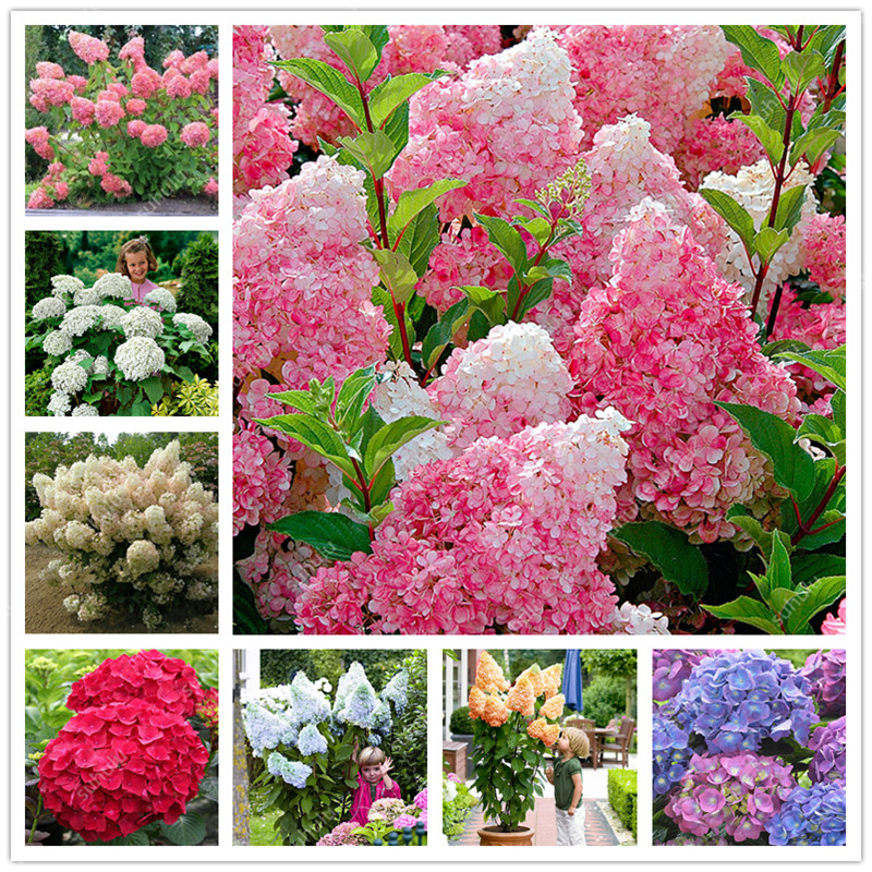 Hot Sale! 10 Pcs 100% Genuine Bonsai Hydrangea Paniculata 'Vanilla Fraise' ,Hydrangea Bonsai Flower Planta For Home Garden